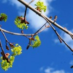 Spring buds with blue sky